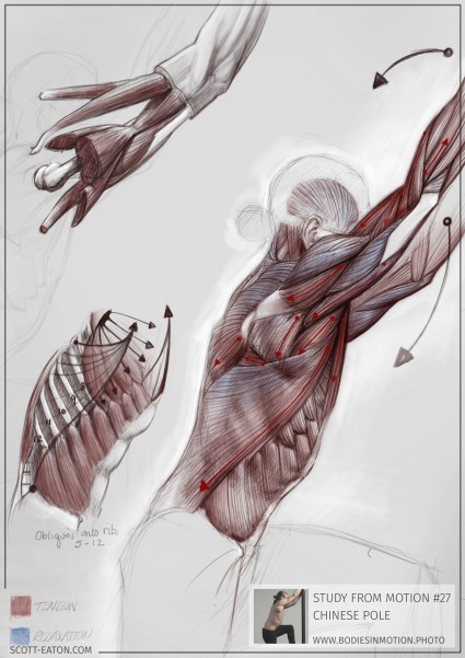 Ecorche drawing from Scott Eaton's Bodies in Motion library - external obliques, upper arm muscles / dissection