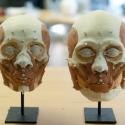 comparison of facial structures